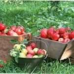 Збираємо урожай фруктів в саду для зберігання на зиму
