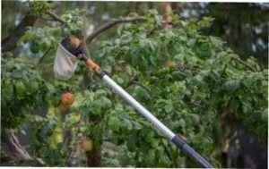 Збір врожаю фруктів з дерева