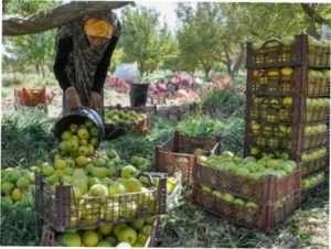 Збір врожаю: як правильно знімати плоди з дерева