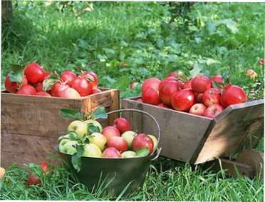 Збір врожаю плодів і фруктів в саду для зберігання на зиму: найкращі поради садівникам