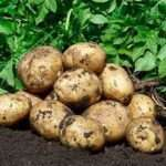 Сорт картоплі Гала: характеристика та опис сорту з фото