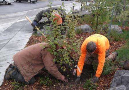 Які особливості має посадка дерев і чагарників восени