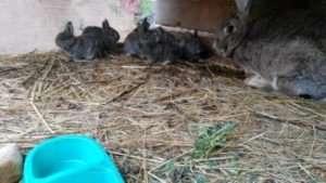 Особливості утримання кролів СІрий Велетень