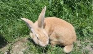 Стандарт кроликів породи «сірий велетень»