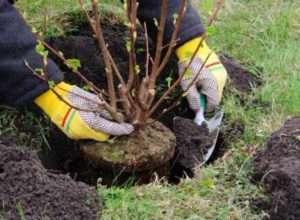 Переваги та недоліки посадки дерев і чагарників восени