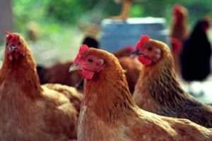 Як виявити наявність паразитів у курнику?
