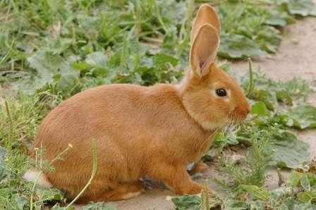 Кролик сірий велетень: опис породи, фото, відгуки