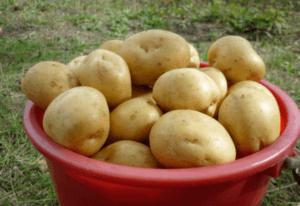 Картопля Гала, вирощування