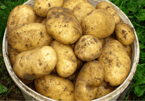 Догляд за картоплею Гала