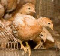 Система освітлення в курнику