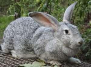 Розміщення кроликів «сірий велетень»