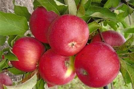 Яблуня Уелс: характеристика та опис сортуз фото - догляд та вирощування яблуні сорту Уелсі