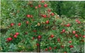 Як правильно проводити обрізання і формування яблуні