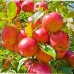 Як провести формування яблуні самостійно: інструкція та схеми