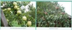 Обрізка і формування яблуні: особливості роботи з деякими сортами