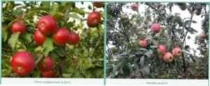 Сорти яблук, плодоносячі на плодових прутиках