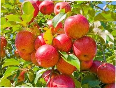 Обрізання і формування яблуні: рекомендації для початківців