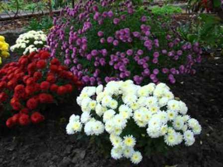Як виростити садову хризантему