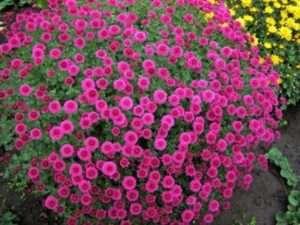 Як посадити садові хризантеми