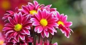 Які небезпеки можуть підстерігати садівника з вирощування хризантеми
