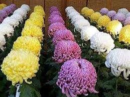 Як розмножувати садову хризантему