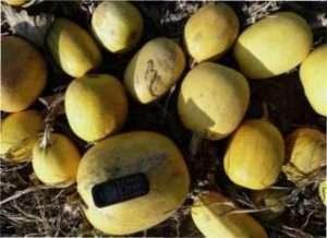 Особливості вирощування гарбуза на насіння