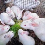 Годування кроликів взимку: грубі, соковиті та концентровані корми, вітаміни