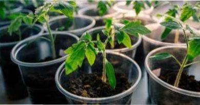 Як правильно посадити насіння помідорів для отримання розсади