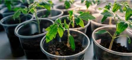 Як правильно посадити насіння помідор для отримання розсади