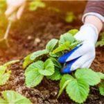 Як доглядати за полуницею весною, щоб отримати хороший урожай