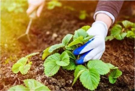 Як доглядати за полуницею навесні, щоб отримати хороший урожай
