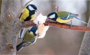 Ці види мають гостру потребу в підгодівлі: синиці, снігурі, чижі і щиглики