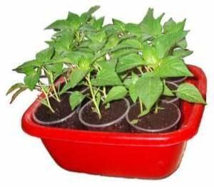 Обробка насіння перця