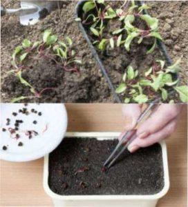 Посів насіння розсади буряка
