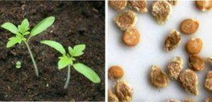 Сприятливі і несприятливі дні посадки насіння на розсаду:
