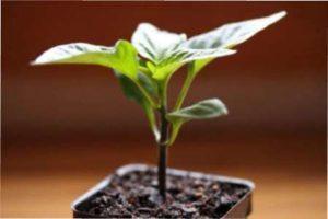 Покрокова інструкція посадки насіння перцю