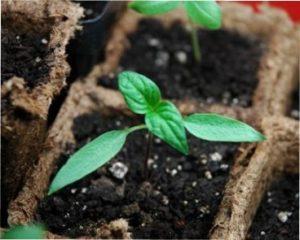Як правильно вирощувати розсаду перцю в домашніх умовах