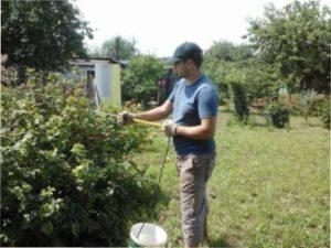 Чим слід обробляти кущі смородини навесні