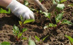 Особливості догляду за розсадою буряка