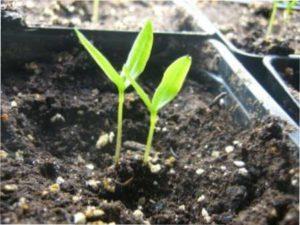 Особливості пророщування насіння перців