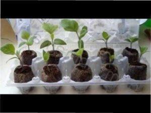 Догляд за розсадою баклажан фото