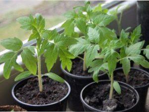Вибираємо правильне насіння для розсади