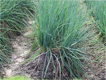 Дивна рослина - цибуля-батун: вирощування та догляд