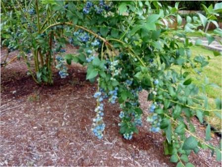 Як виростити лохину на ділянці - тонкощі її посадки та догляду