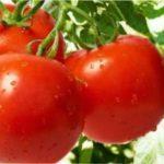 Самі врожайні сорти томатів для вирощування в Україні в 2019 році