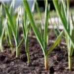Що садити після часнику на городній ділянці?
