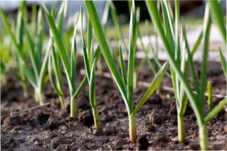 Що садити після часнику?