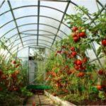 Висадка розсади томатів (помідорів) у теплицю
