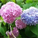 Гортензія садова: посадка і догляд у відкритому грунті