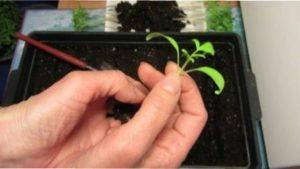 Посадка насіння помідорів на розсаду